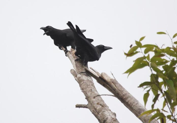 Бангайская ворона - фото