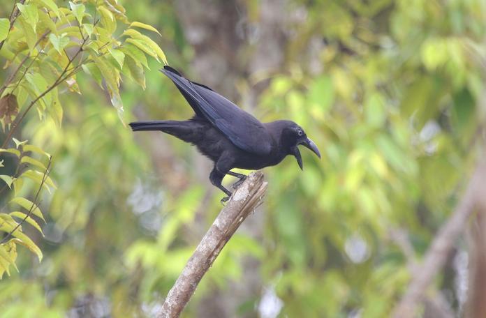 Как выглядит Бангайская ворона