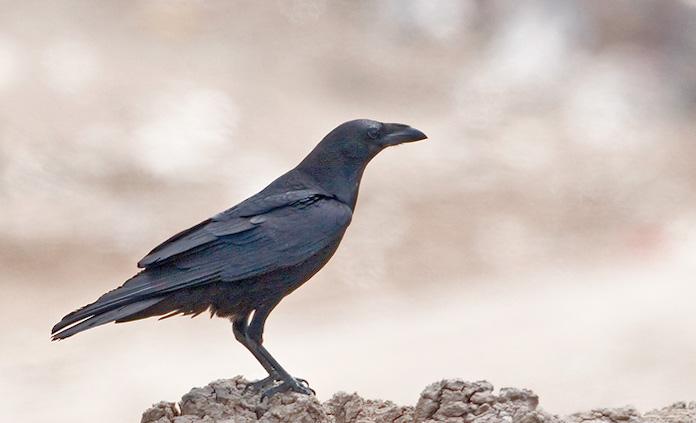 Белошейная ворона - фото