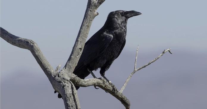 Белошейная ворона как выглядит