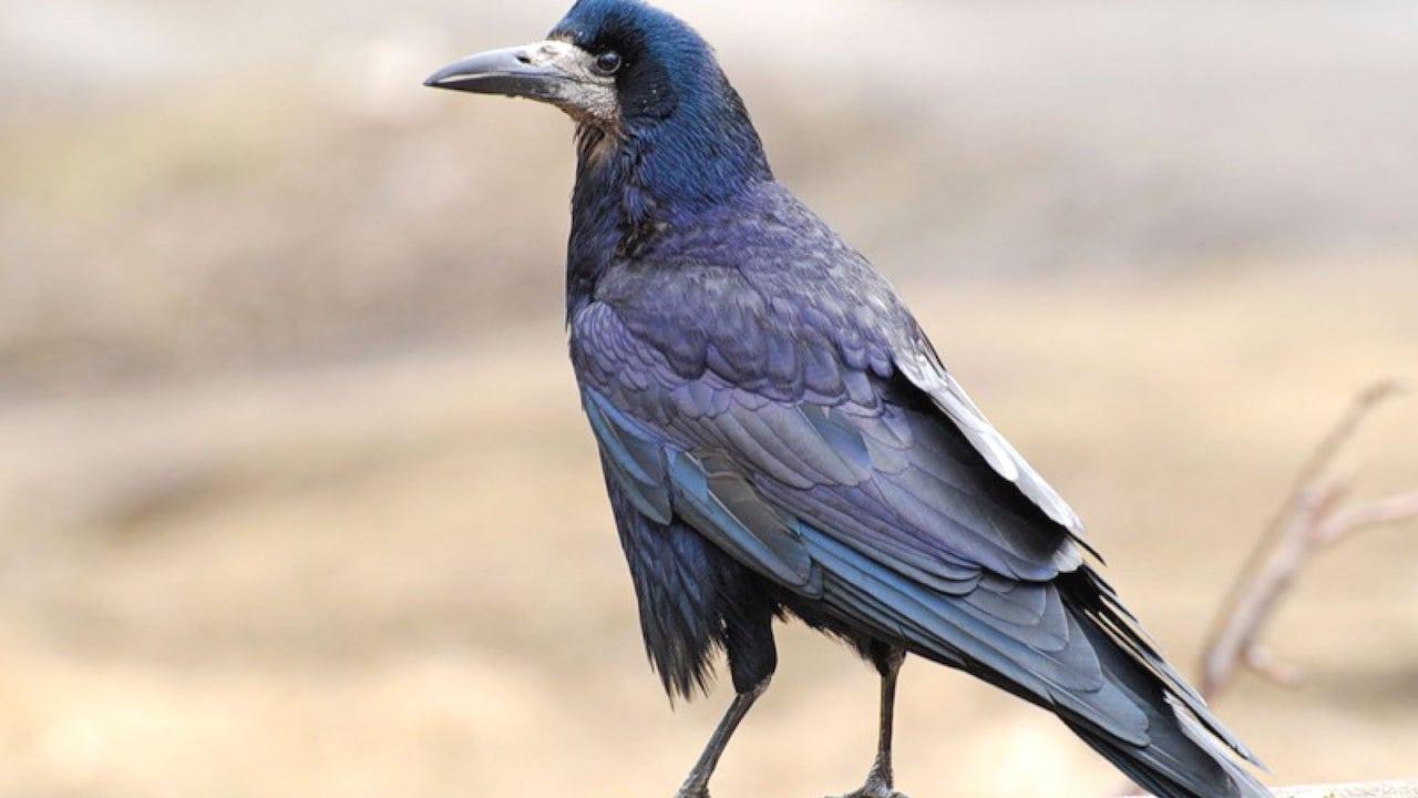 Фото птица грач