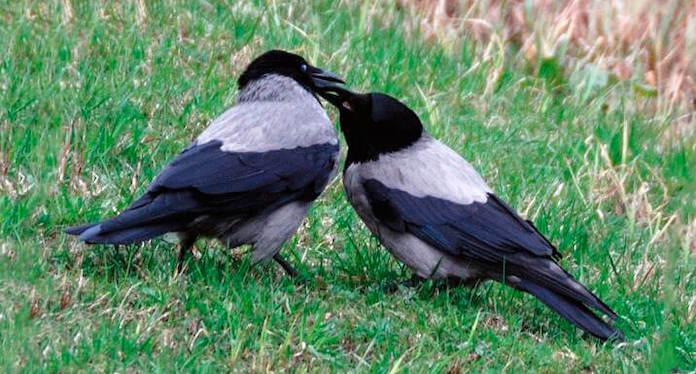 Самка и самец вороны