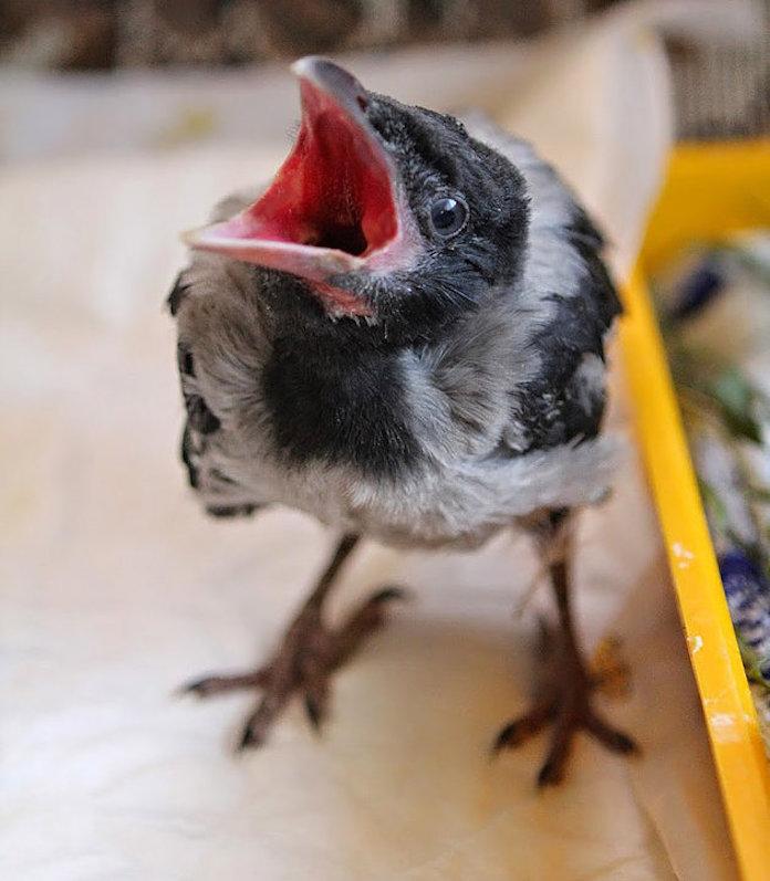 Птенец серой вороны в домашних условиях