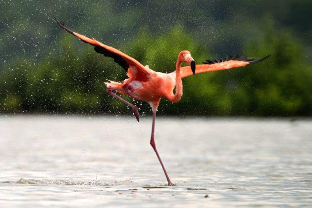 Почему фламинго поджимают ногу