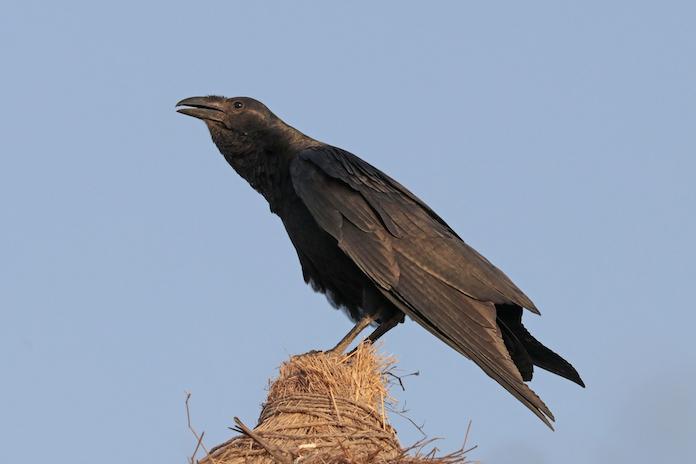 щетинистая ворона