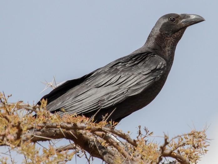 Щетинистая ворона на ветке