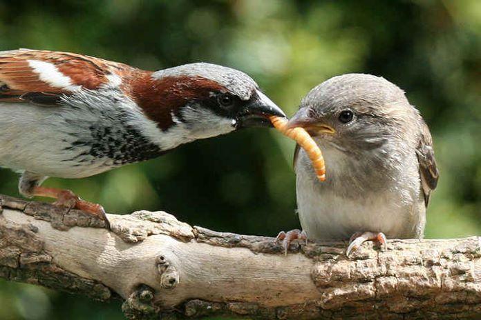 Воробьи едят - фото
