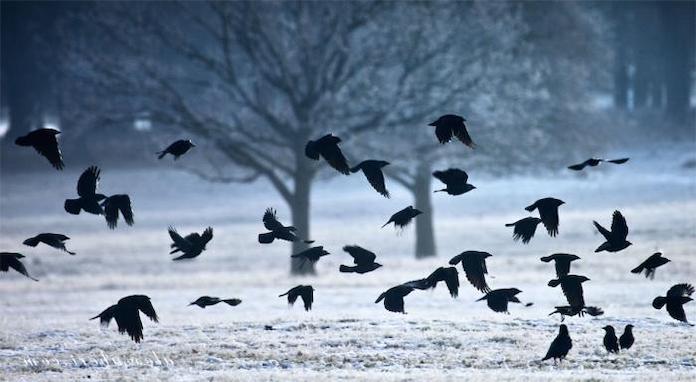 Стая черных ворон