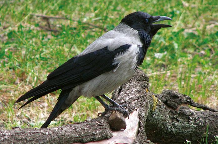 Какие звуки издает ворона