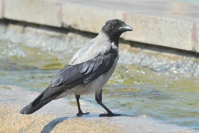 Где живут вороны?