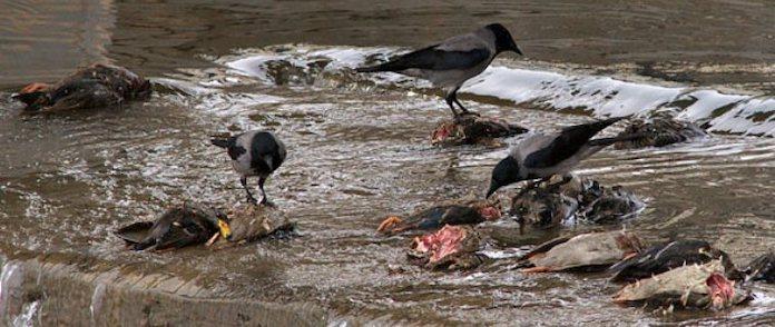 Что едят вороны