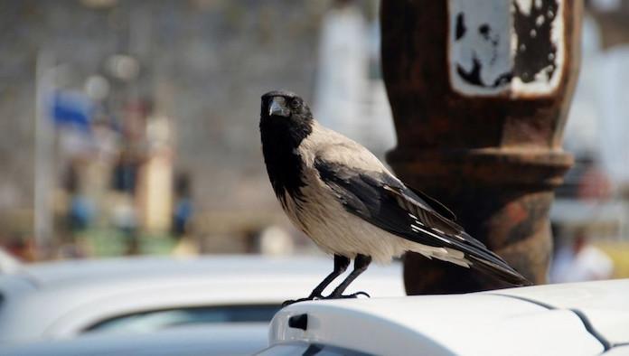 Ворона в центре города