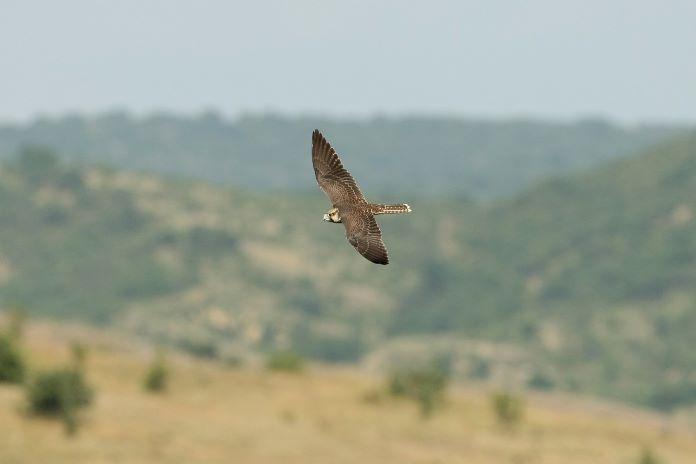 Ланнер птица