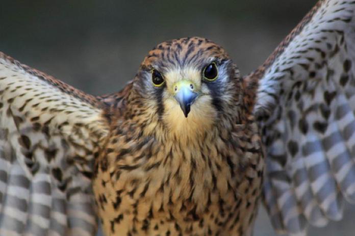 Сокол птица фото