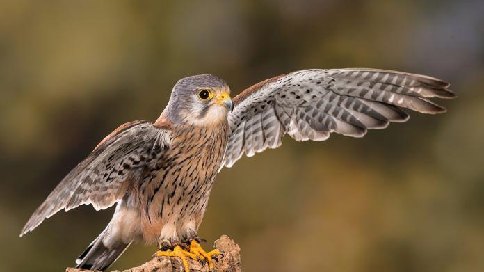 Сокол птица описание