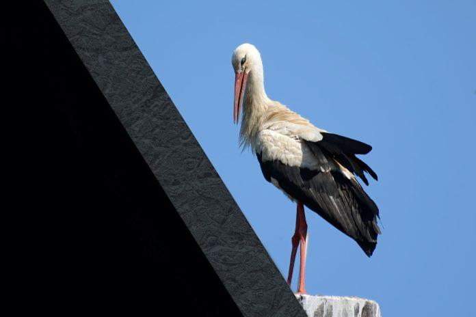 Аист на крыше примета