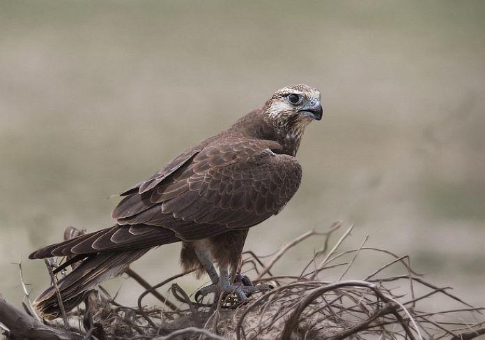 Лаггар птица