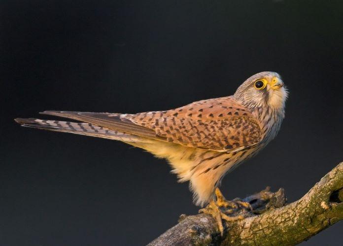 Пустельга птица