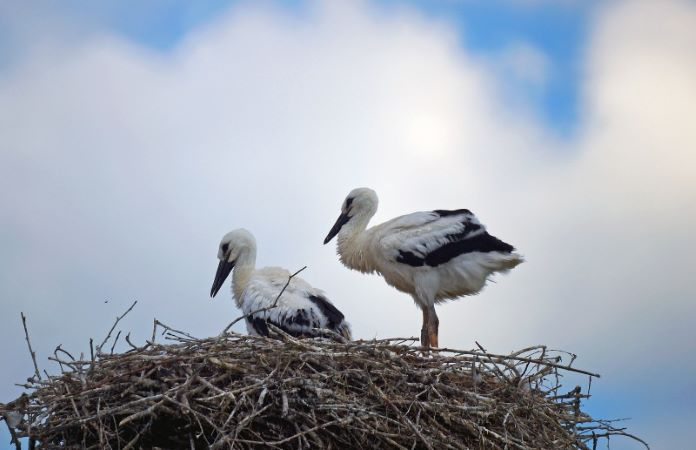 Аисты выбрасывают птенцов из гнезда
