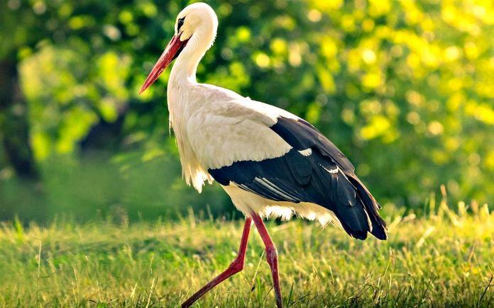 аист птица