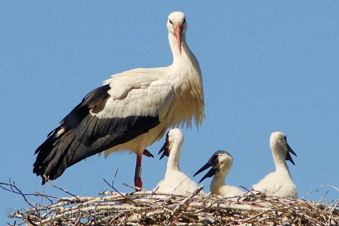 Гнездо семьи аистов