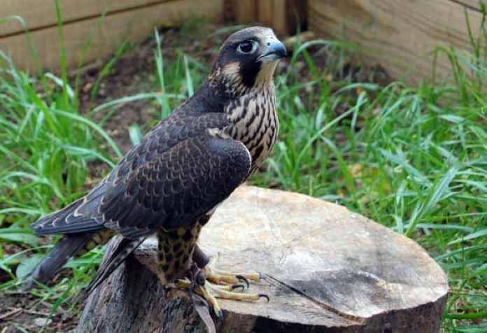 Виды соколов птица