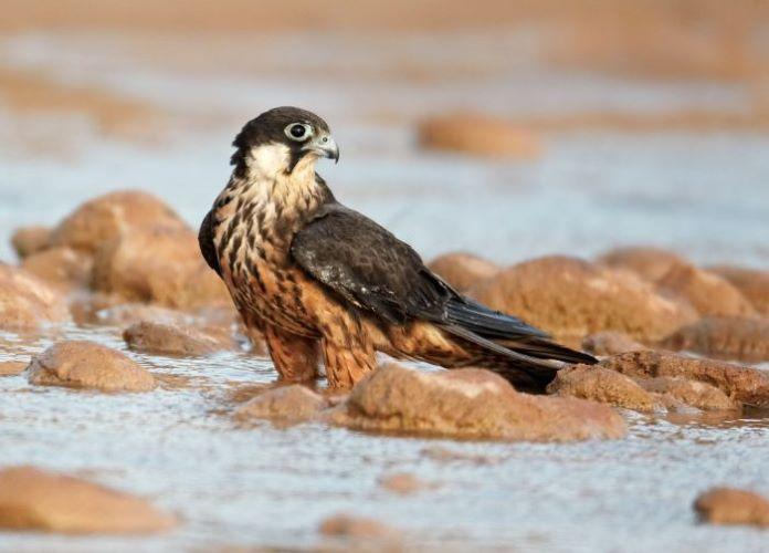 Чеглок птица