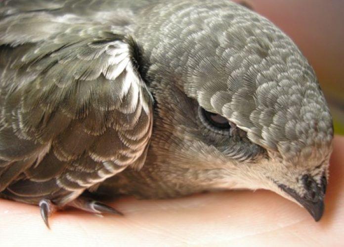 Птенцы соколов фото