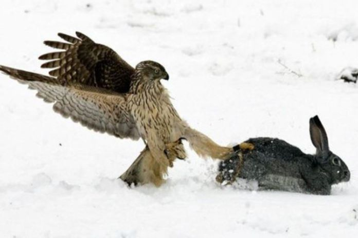 Охота сокола