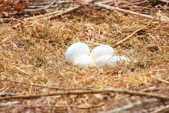 Яйцо аиста