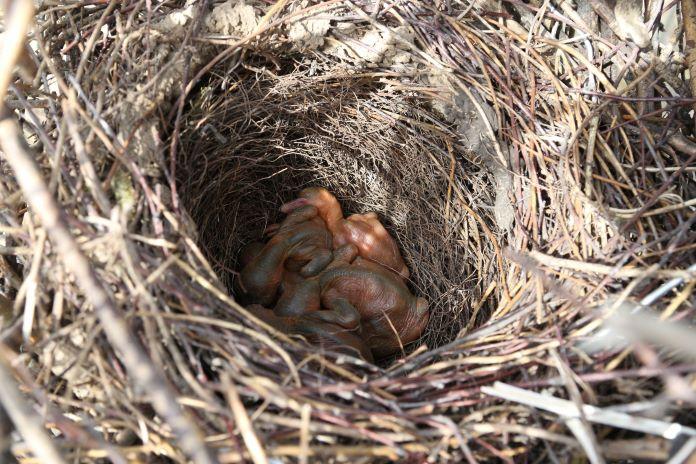 Птенцы сороки