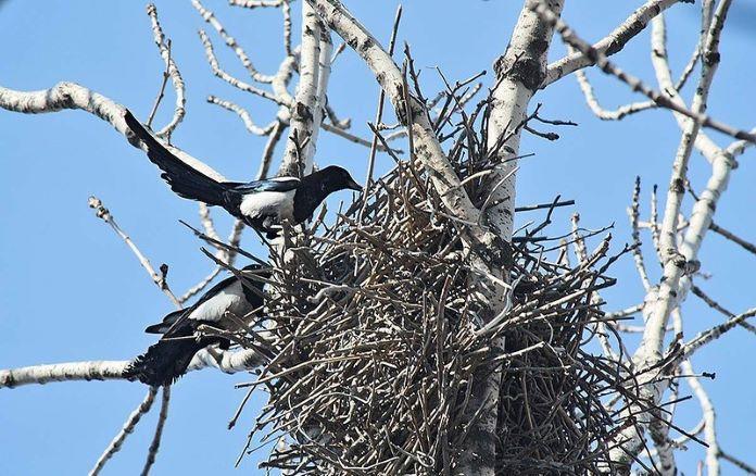 Сороки вьют гнезда