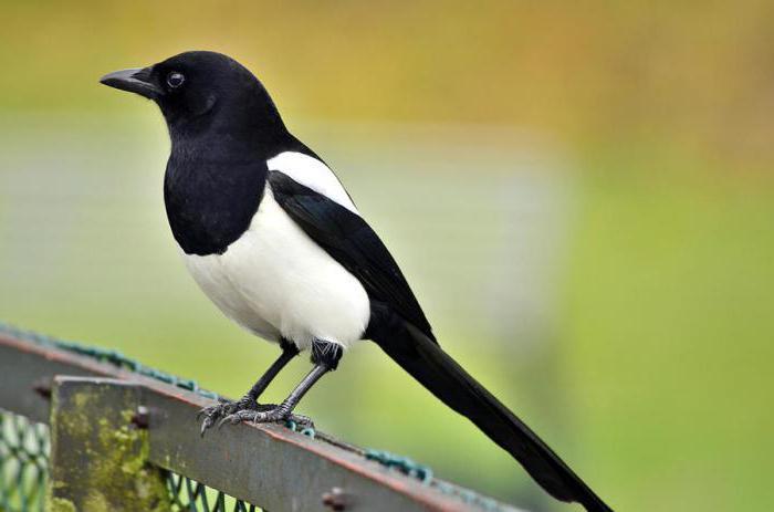 Почему птицу назвали сорока