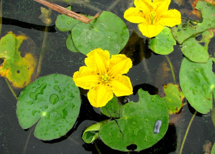 Как размножается болотоцветник щитолистный