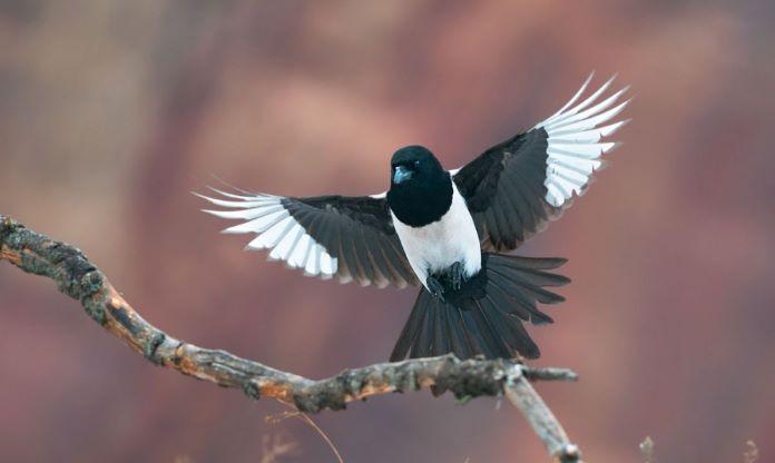 Сорока перелетная или зимующая птица