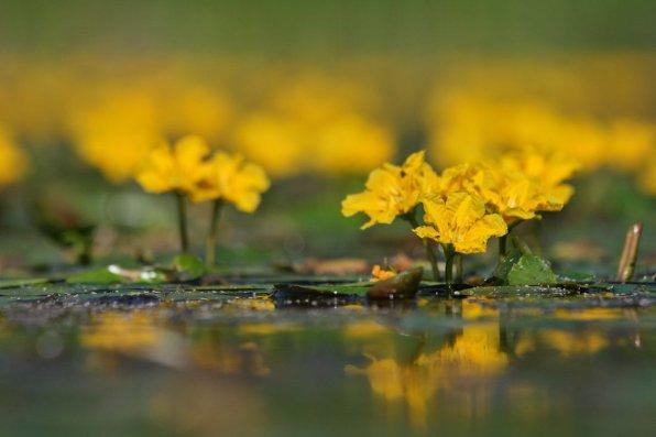 Как открыли болотоцветник
