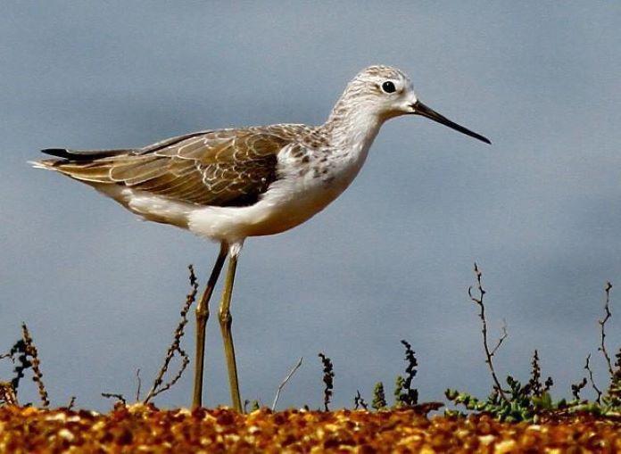Кулик птица болотная