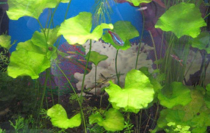 Нимфодеис тайваньский разведение в аквариуме