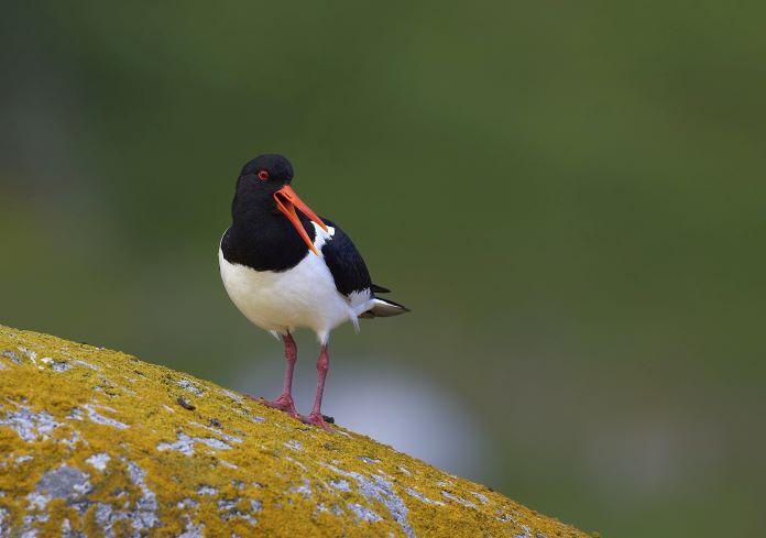 Кулик птица голос