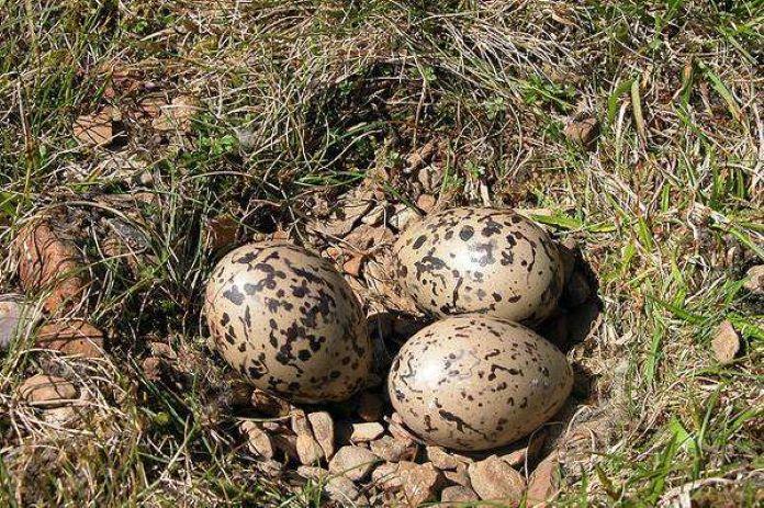 Яйца куликов