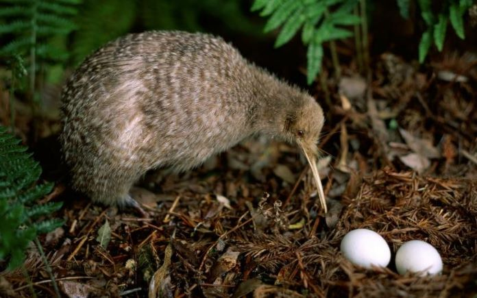 Киви яйца