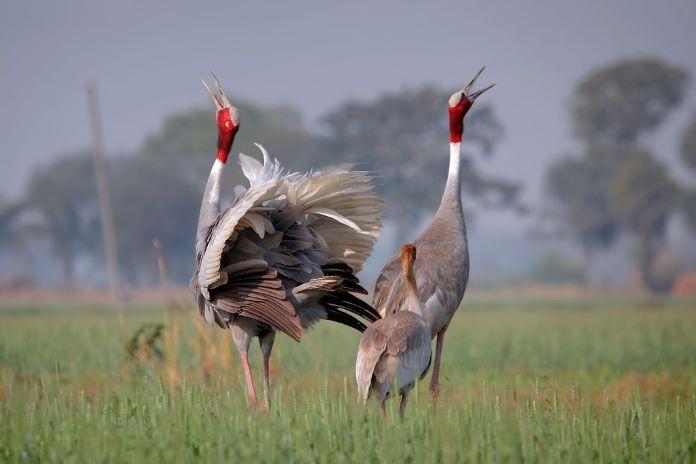 Индийский журавль