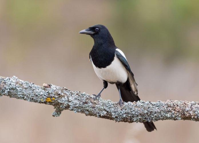 Сорока птица