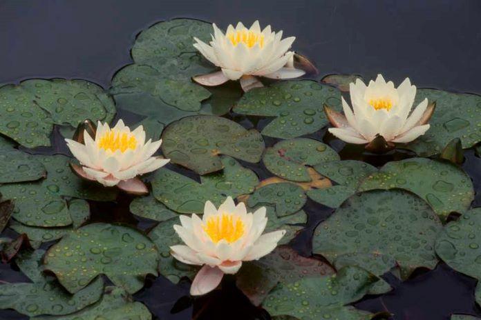 Схожие растения с болотоцветником