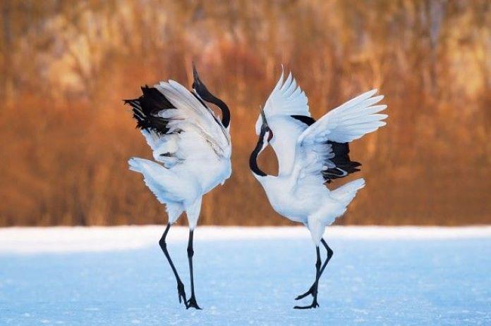 Японский журавль фото