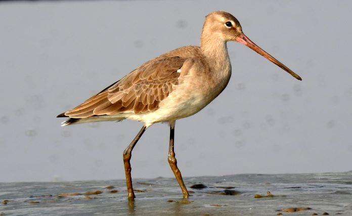 Веретенник птица фото
