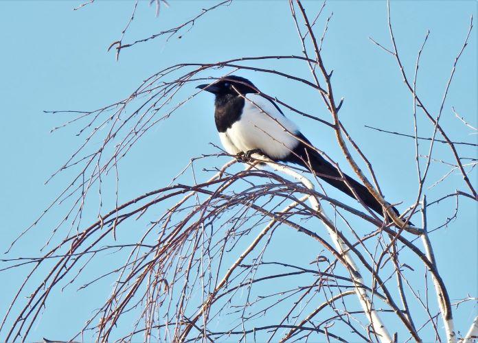 Фотографии птицы сороки