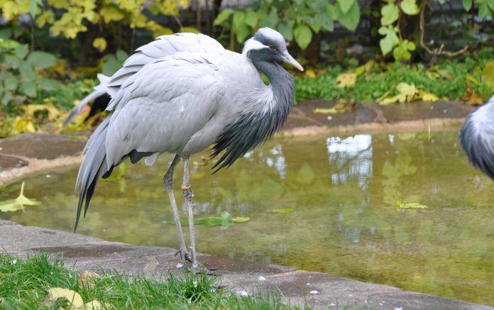Малый журавль птица