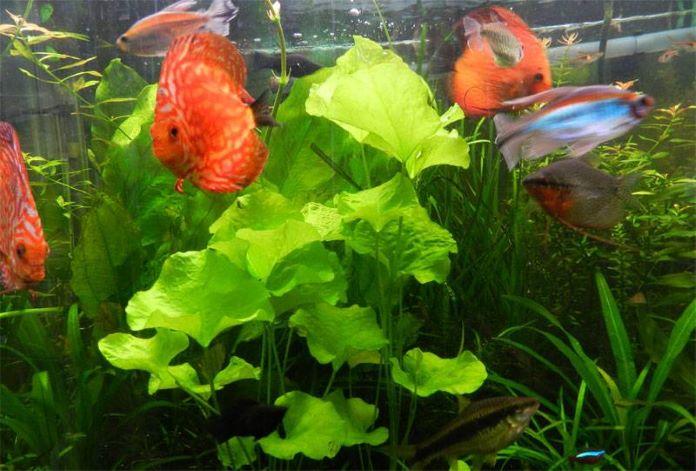 Нимфодеис тайваньский для аквариума
