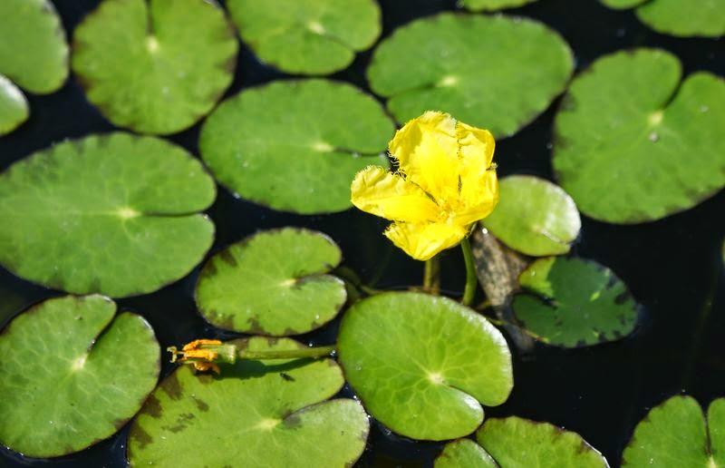 Применение болотоцветника в народной медицине